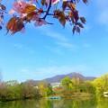 エゾヤマザクラと菖蒲池~♪