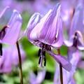 写真: 薄紫の君の笑顔に魅せられて~♪