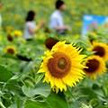 Photos: ひまわりの里の夏休み~♪