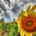 写真: 光芒のひまわり畑~♪