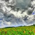 写真: ある夏の日のひまわり畑~♪