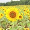 写真: 夏の終わりのヒマワリ達~♪
