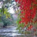 写真: 養老渓谷の紅葉