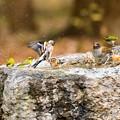 水飲み場の鳥(アトリ、シロハラ、メジロ)