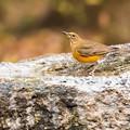 写真: 水飲み場の鳥(アカハラ)