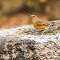 水飲み場の鳥(アカハラ)