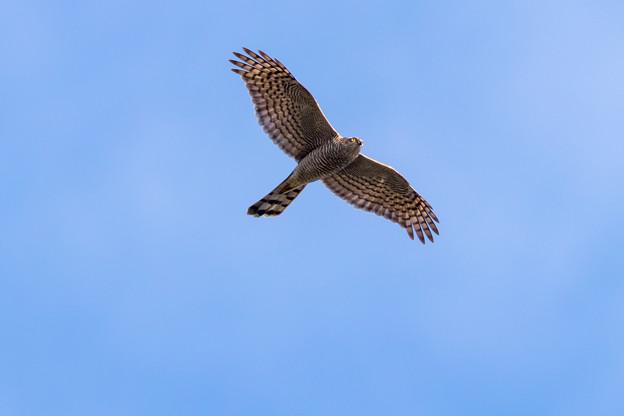 写真: 青空を飛ぶタカ
