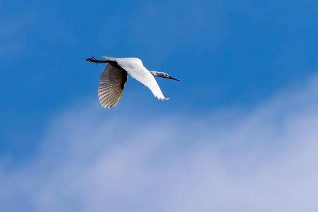 写真: 青空を飛ぶサギ
