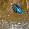 写真: カワセミ 魚ゲット