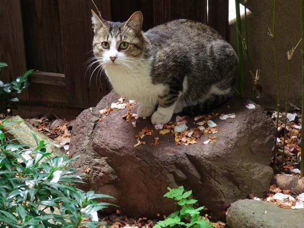 Photos: 庭石と野良猫 2014.11.8