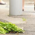 写真: 我が家門前の道端のクローバー(1)