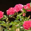 「空からのライトアップ」で際立つ春バラ