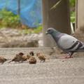 写真: お鳩さんといっしょ
