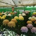 写真: 菊まつり