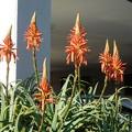 写真: アロエの花