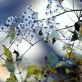 写真: 秋綿毛