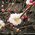 写真: 2010zuisin_ume3
