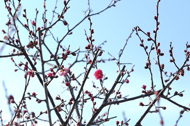 長居植物園 2018/01/16「梅一輪咲いてました」