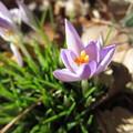 うす紫の花
