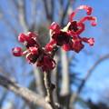 写真: 赤花満作