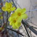 写真: 迎春花
