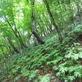 写真: ブナの林
