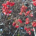 写真: サンシュユの赤い実