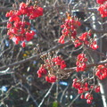 Photos: サンシュユの赤い実