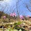 写真: 春の女王カタクリ2♪
