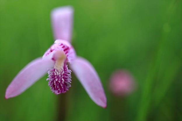 写真: サロベツの野草