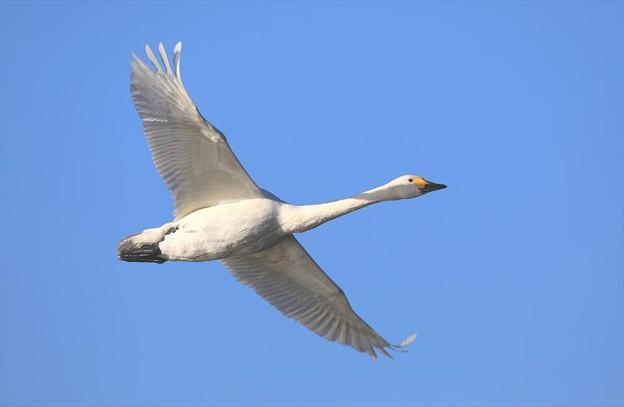 写真: 白鳥が飛んできた2♪