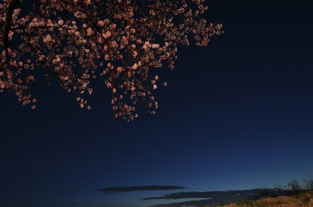 Photos: 宵桜