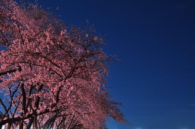 Photos: 桜酔ゐ