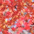 Photos: 紅葉日和1