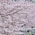 写真: 春に染まる頃