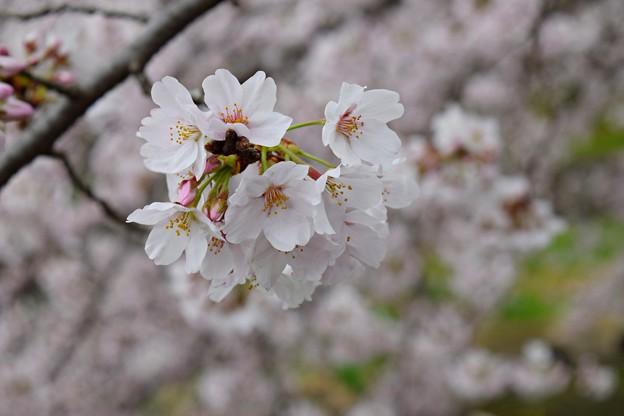 春桜花(2017)