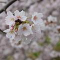 Photos: 春桜花(2017)