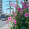 写真: 街路地の立葵