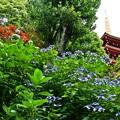 写真: 紫陽花&五重塔