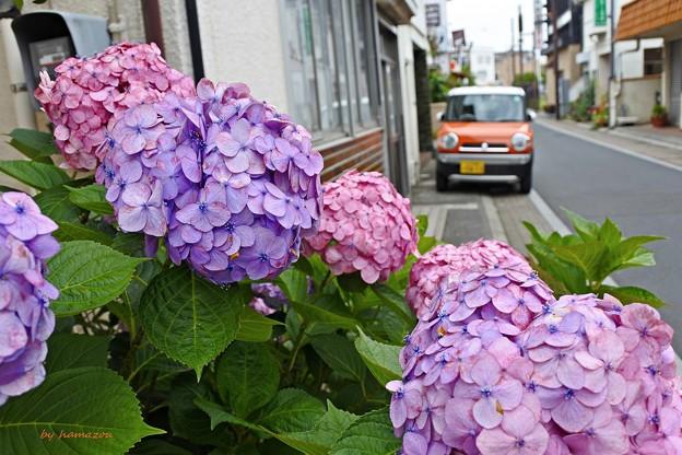 写真: 紫陽花に染まる頃
