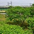 写真: 桃色吐息中央線(3)