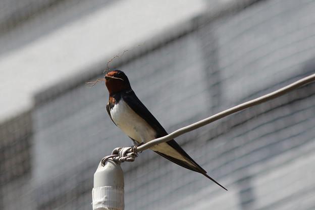 写真: 巣のリフォーム中