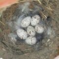 写真: 外組さんの卵