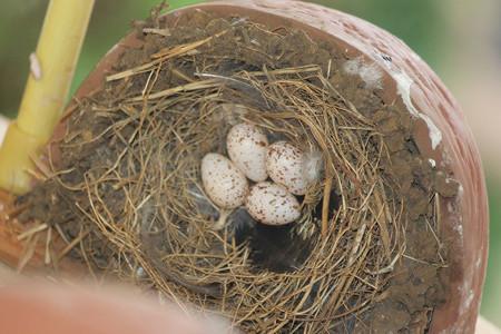 外組さん4個目産卵