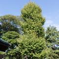 【走水神社】御神木の銀杏