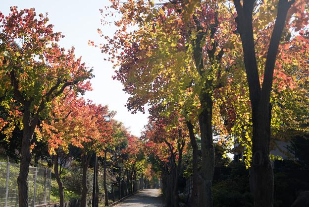 街路樹のナンキンハゼ1
