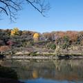 【薬師池公園:薬師池と銀杏】