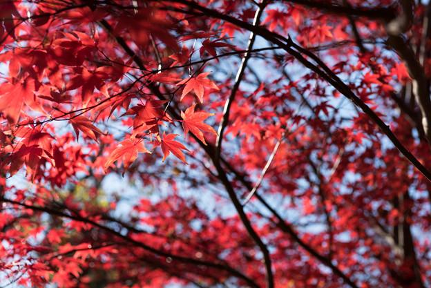 【新宿御苑:真っ赤な紅葉】3