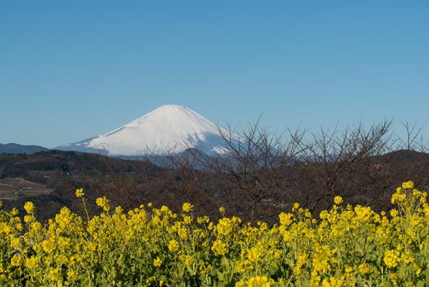 【吾妻山公園の「菜の花」と「富士山」】2