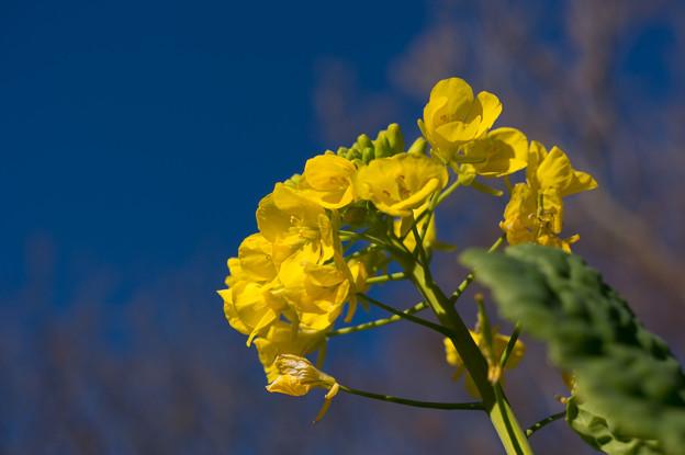 【吾妻山公園の「菜の花」】3